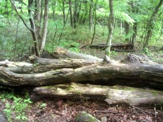 水田に沈んでいたケヤキ、神代ケヤキとはいかない。杉、楢も。