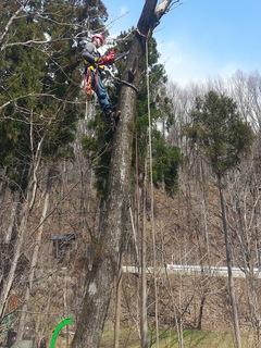 枝打ち ロープアクセス クライミング 木登り 特殊伐採