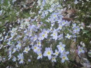ヒナソウの花畑