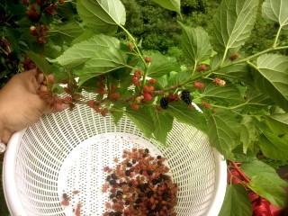 マルベリー、クワの実の収穫