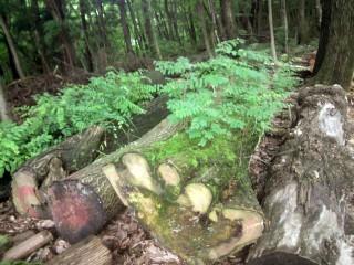 ハリエンジュ(ニセアカシア)、伐採後2年の生命