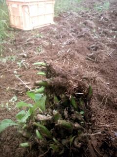 秋植え野菜  行者にんにく  球根