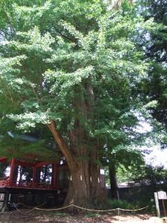 白鳥神社の御神木。村田町