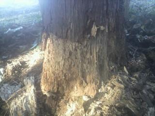 杉を枯らす害虫。カミキリ、キクイムシ以外にも